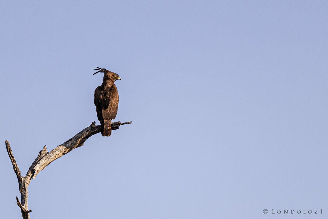Rcb Long Crested Eagle landscape