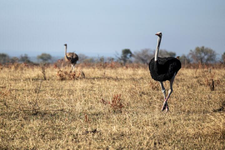 RCB Ostrich Landscape