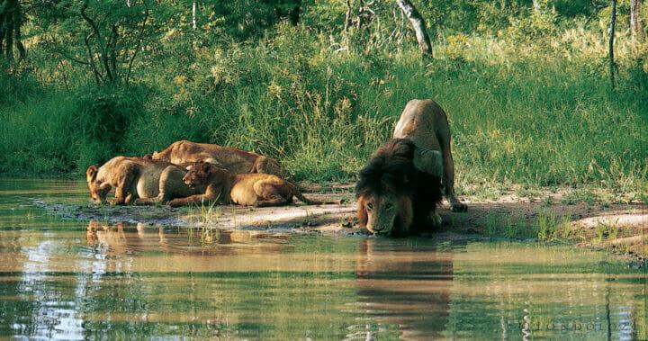 Big Black Male Lion