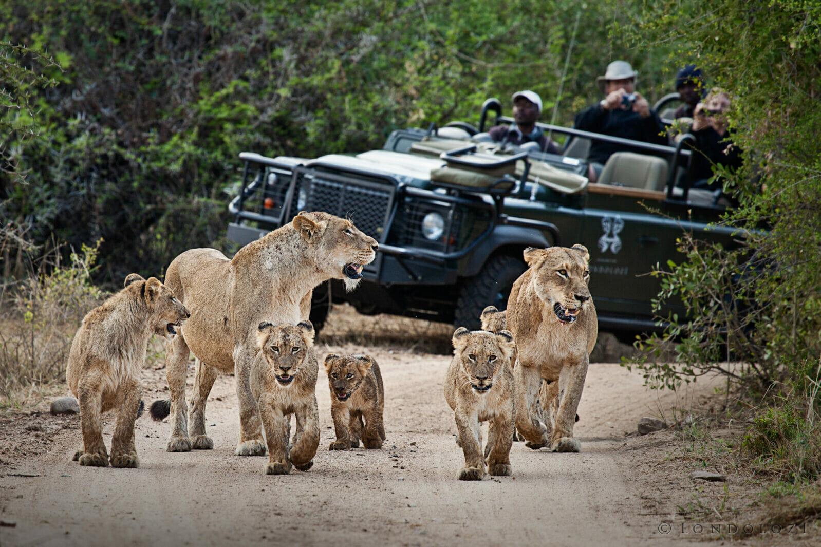Tsalala Cubs And Vehicle