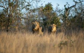 Sdz Plains Camp Male Lions Golden light