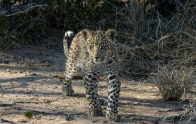 Leopard Cub 2