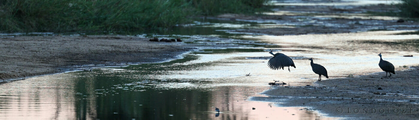 Rcb Guineafowl Crossing