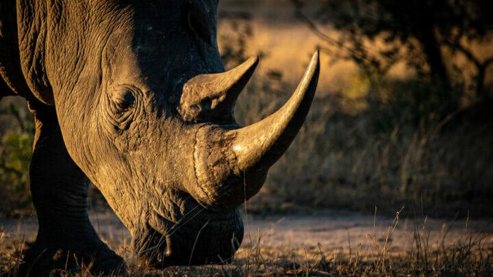 CT Rhino Bull Portrait Golden Light