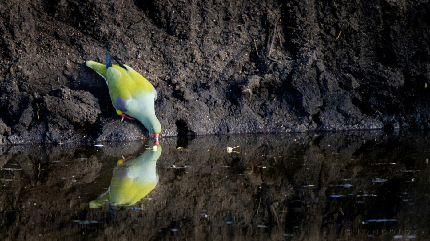 CT African Green Pigeon Drinking Reflection