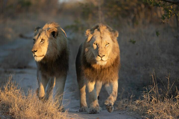 Lion Males Plains Camp Walk Kng