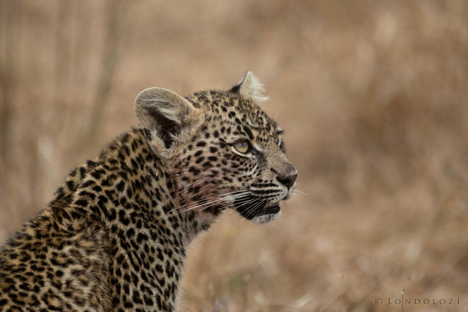 Ndzandzeni Cub Profile Kng