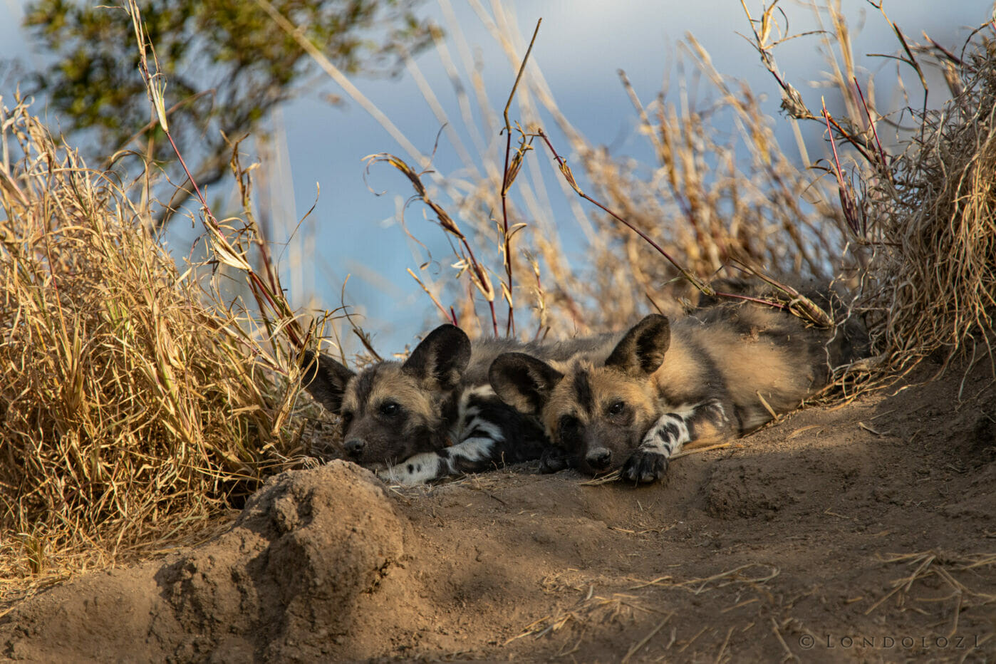 Wild Dog Ppup Lie Kng