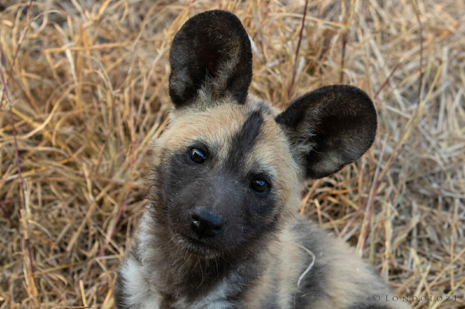 Wild Dog Pup Kng
