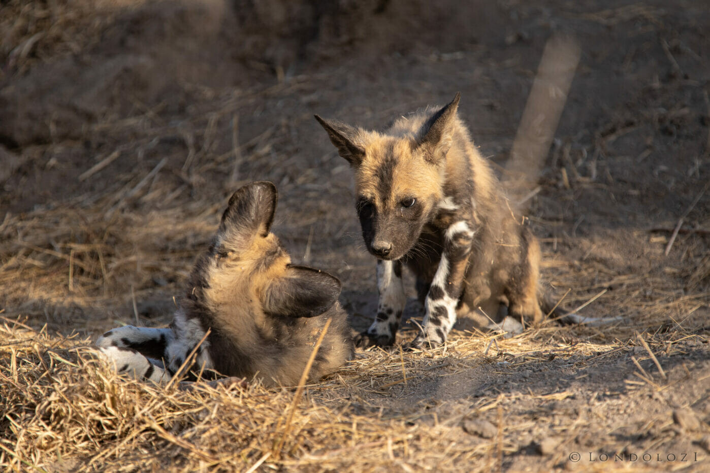 Wild Dog Pup Stare Play Kng