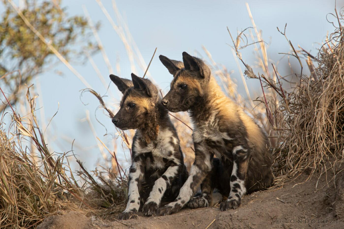 Wild Dog Pups Ears Kng