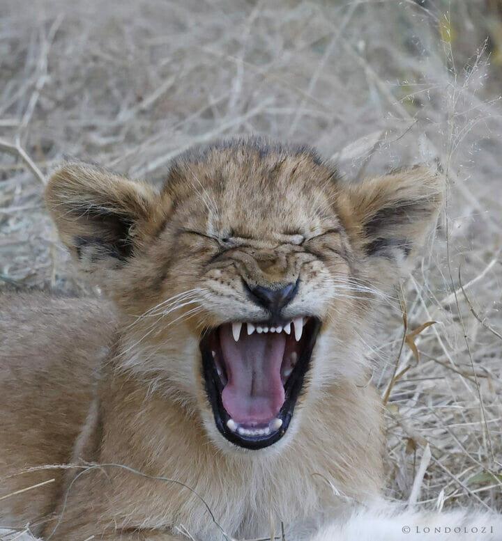 Lion cub yawn Tony Goldman