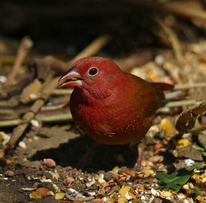 Red-billed Firefinch Tony Goldman