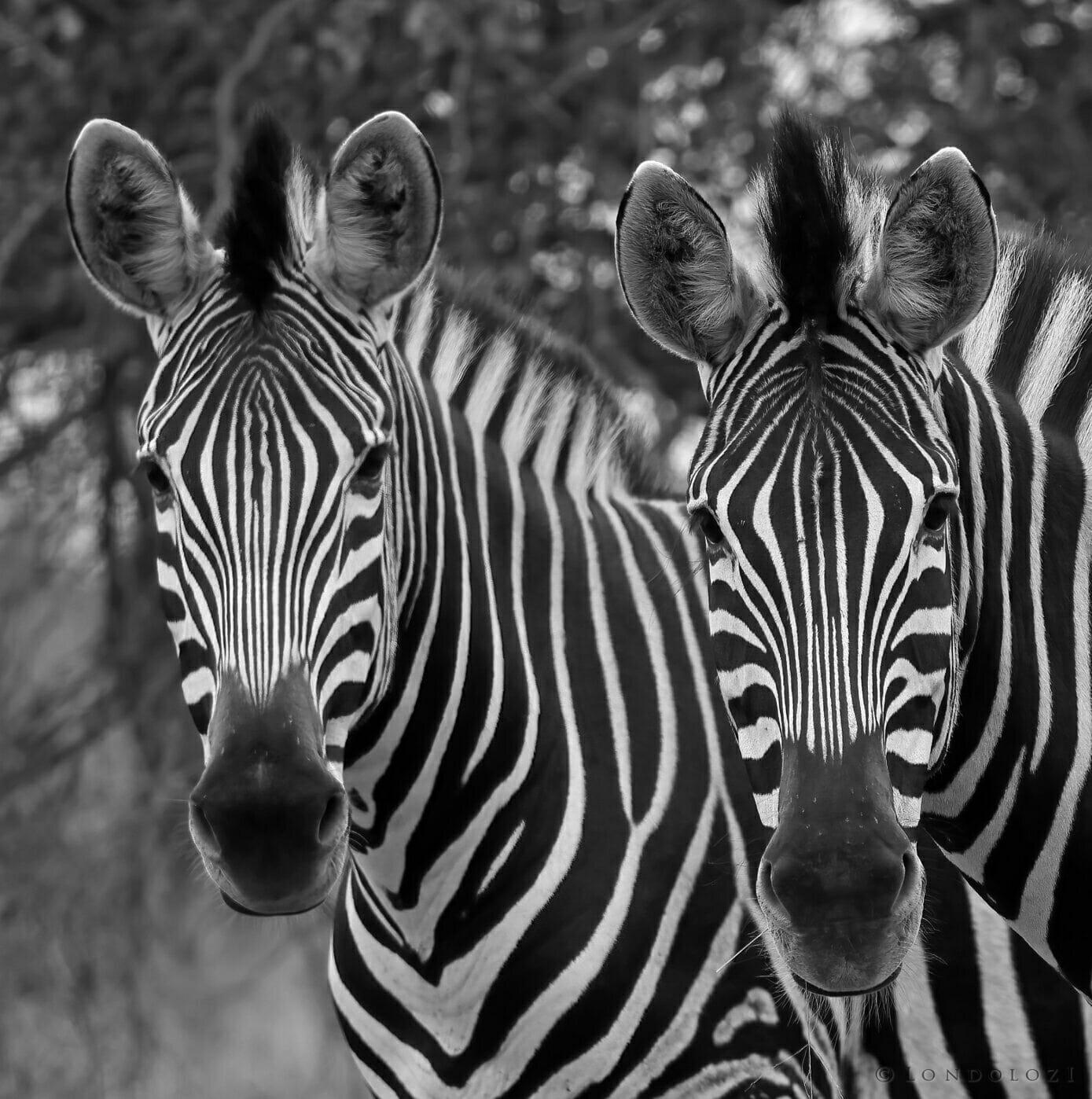 Monochrome zebra tony goldman
