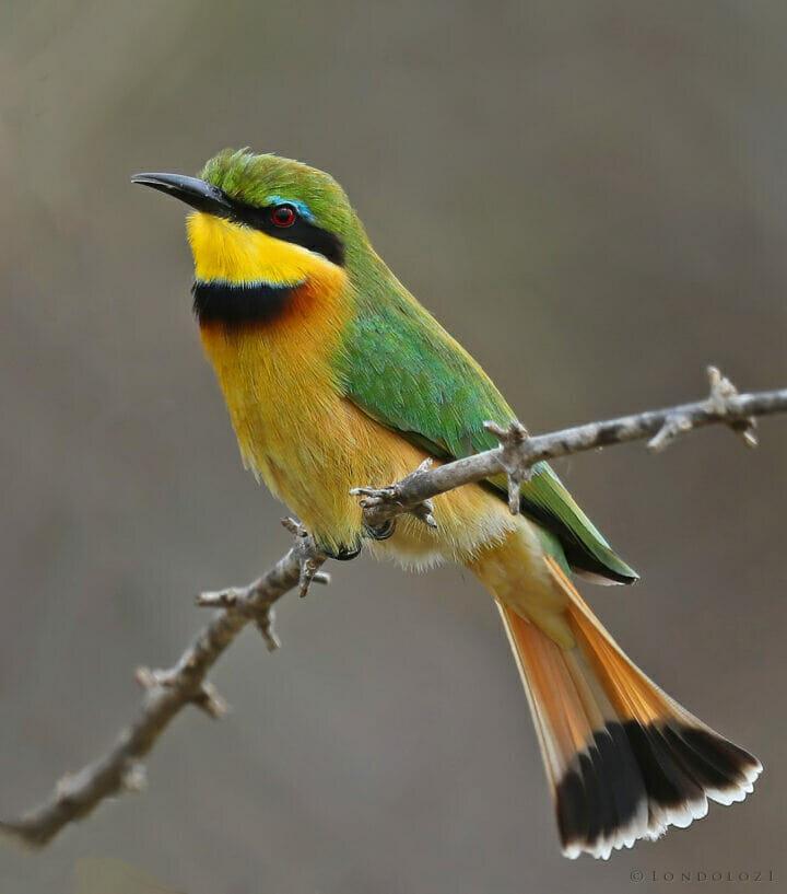 Little bee-eater tony goldman