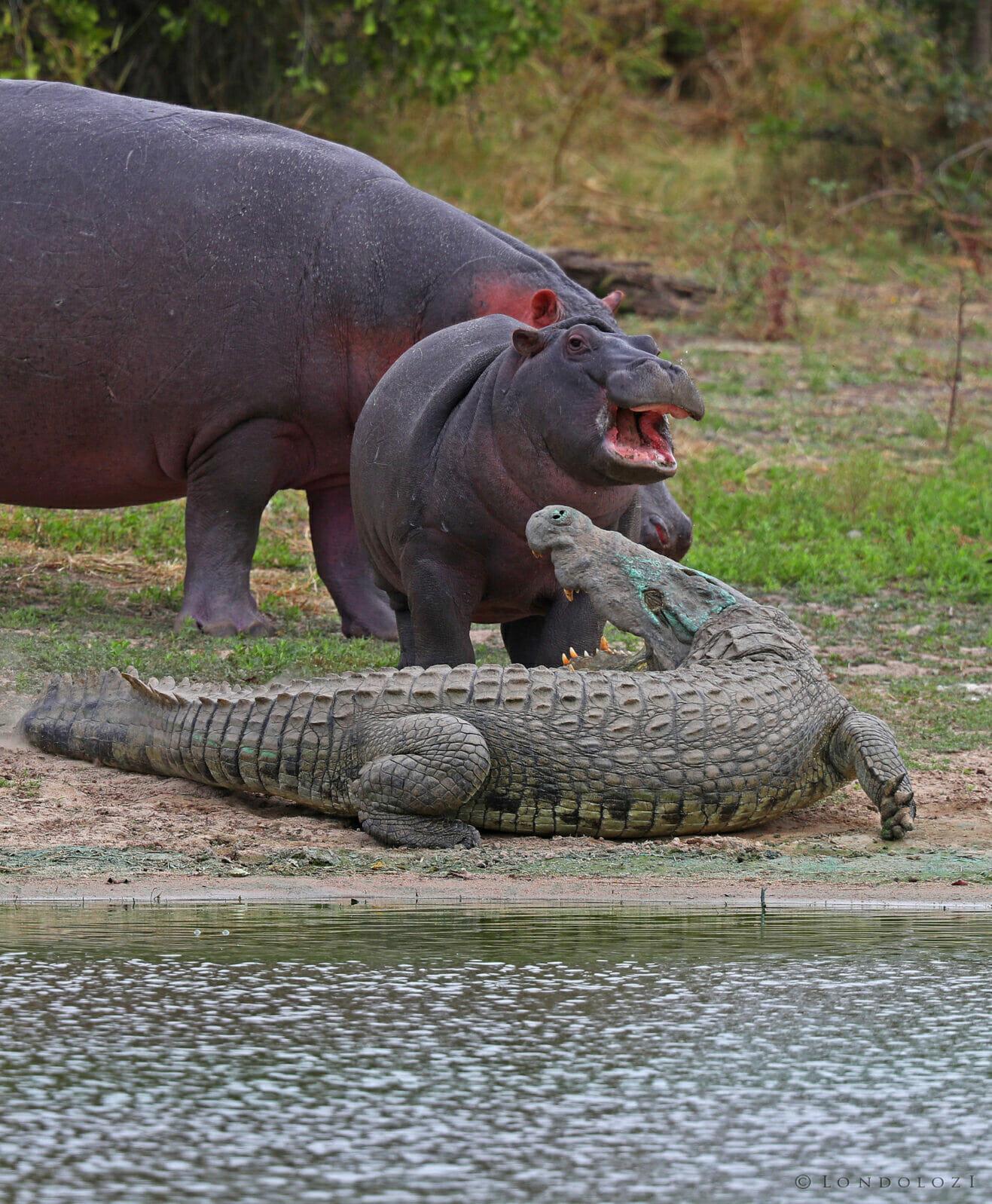 crocodile snapping at young hippo tony goldman