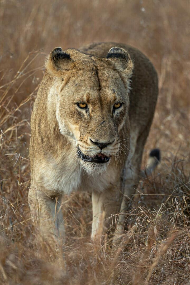 Munghen Lioness