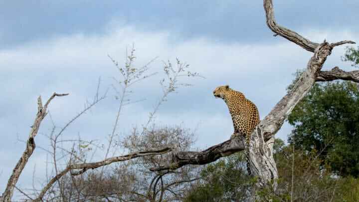 CT Ximungwe Female Leopard in Dead Tree