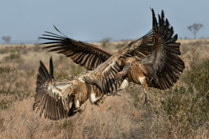 Vultures Fighting Airborne Kng