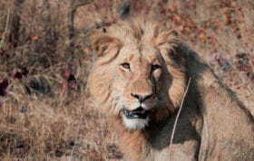 Sdz Imbali Young Male lion