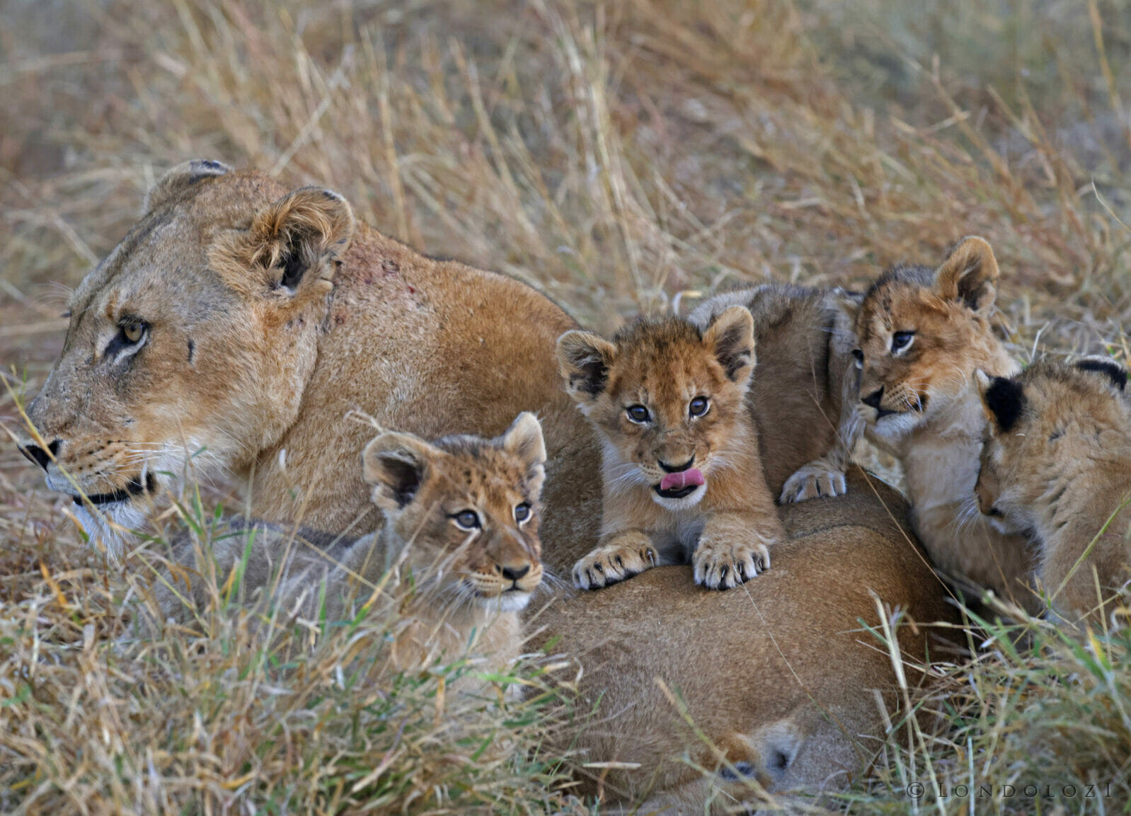 Ntsevu female and cubs Tony goldman