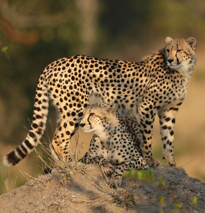 Mother cheetah and sub-adult mound standing