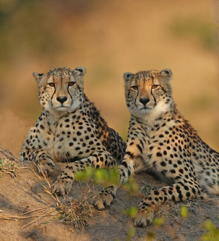 Mother cheetah and sub-adult mound