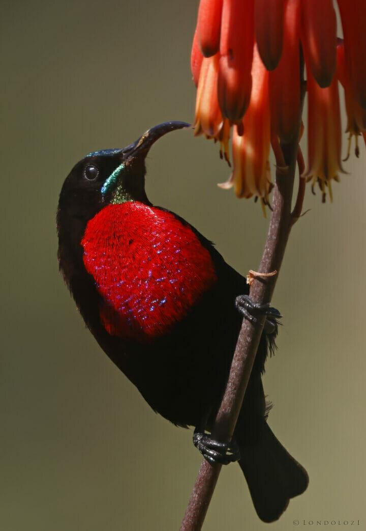 Scarlet-chested Sunbird tony goldman