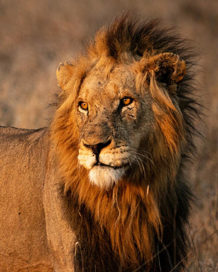 Ct Avoca Male Lion Portrait 1