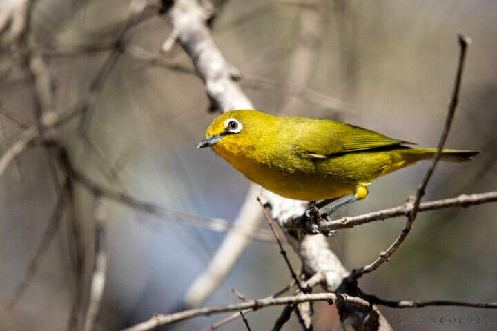 Ct Cape White Eye Bird