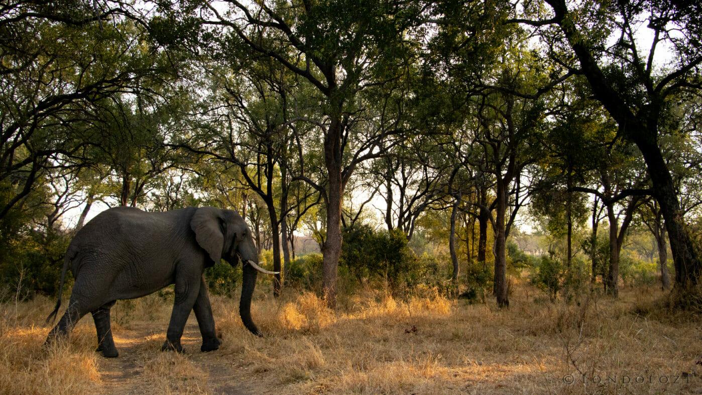 Ct Elephant Bull Leadwood Forest