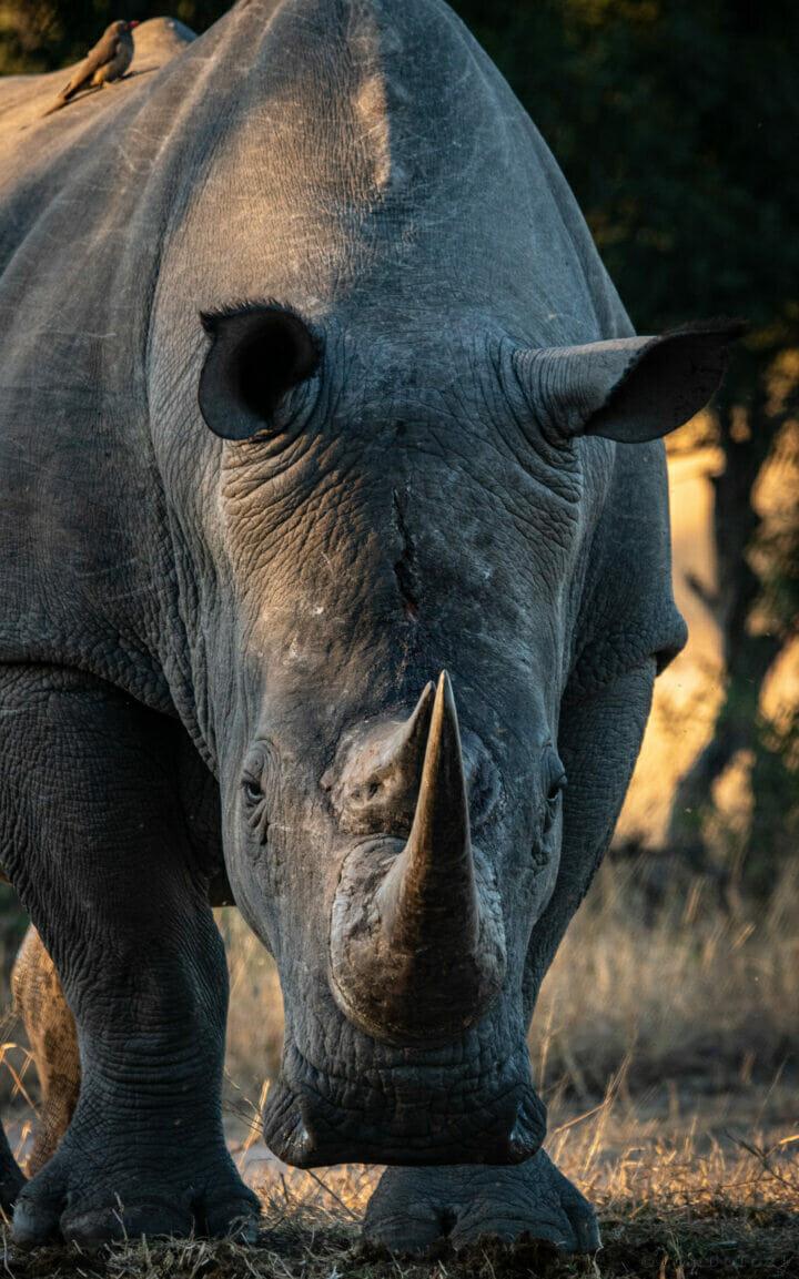 Ct White Rhino Bull Portrait