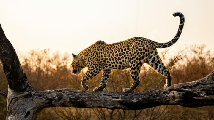 Ct Ximungwe Female Leopard Golden Light 2