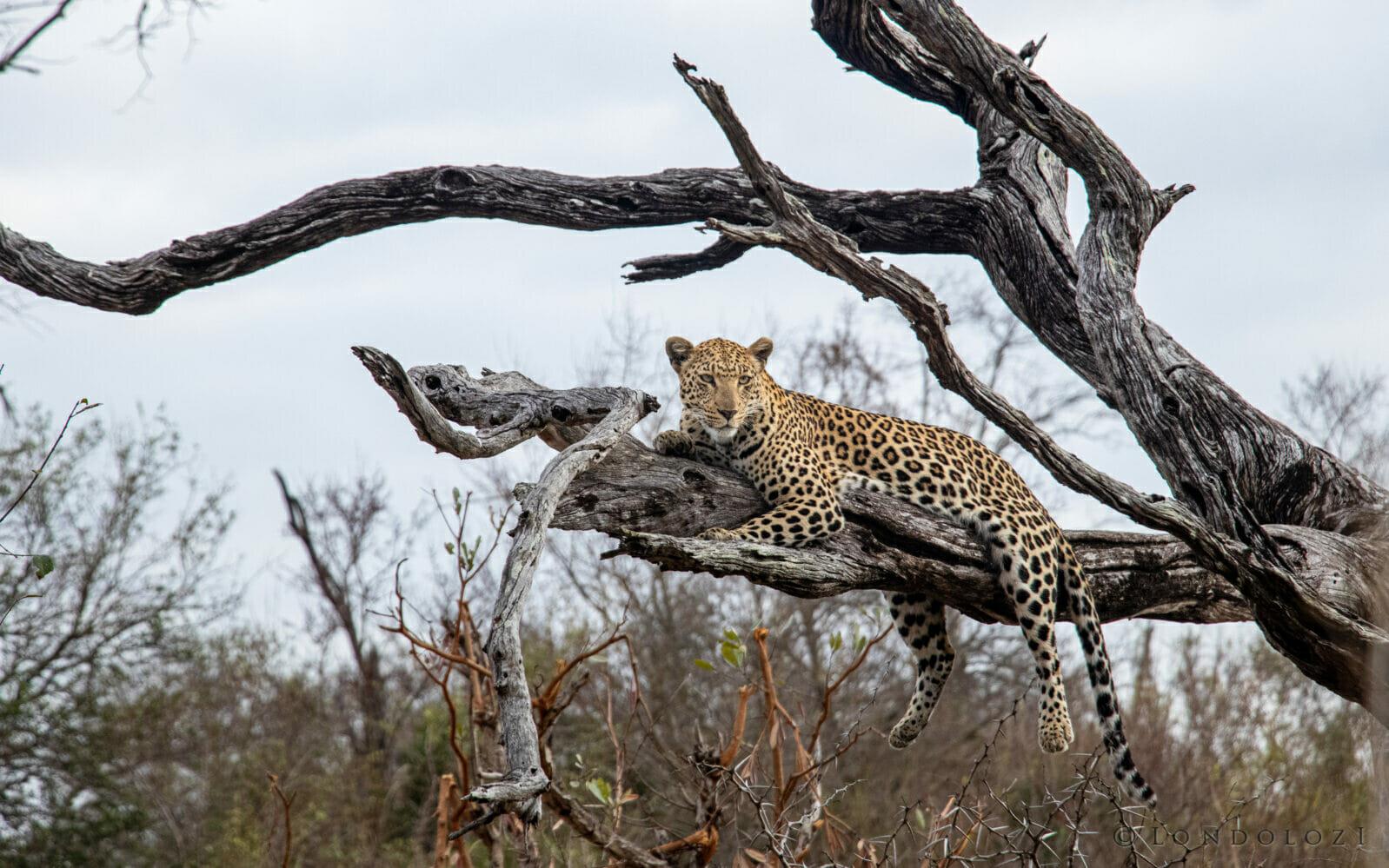 Ct Ximungwe Female Leopard Dead Leadwood