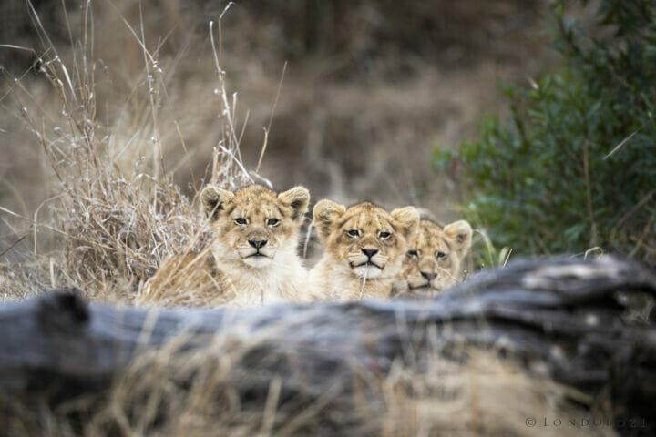 Sdz Ntsevu Cubs Stare Over Log Aug 2021