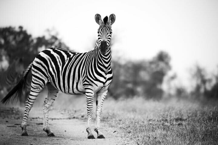 Sdz Zebra Monochrome Blurred Background