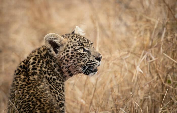 Ns Ndzandzeni Leopard Cub Looking Up