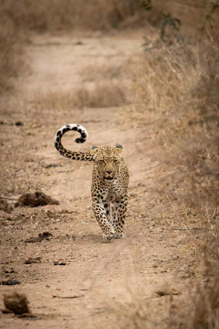 Ns Ndzandzeni Female Leopard Walking In The Road