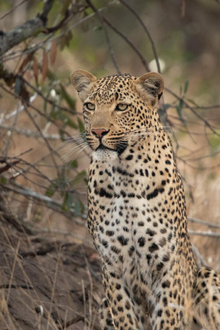 Ns Nkuwa Female Leopard Portrait