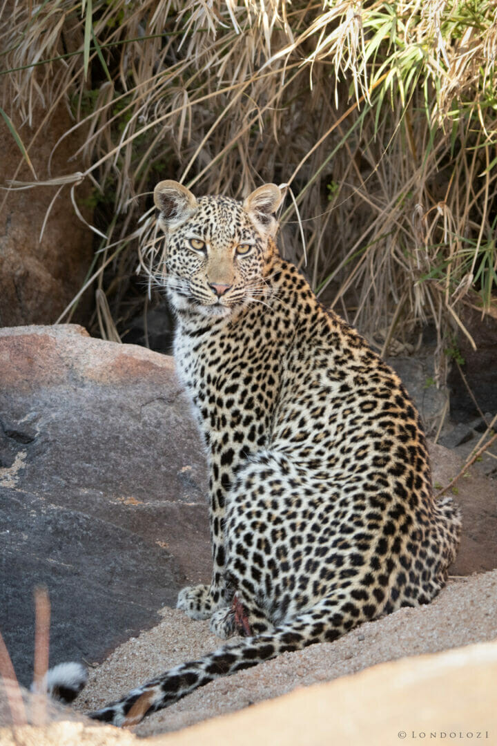 Ns Piccadilly Young Male Leopard Sitting In The Manyelethi River