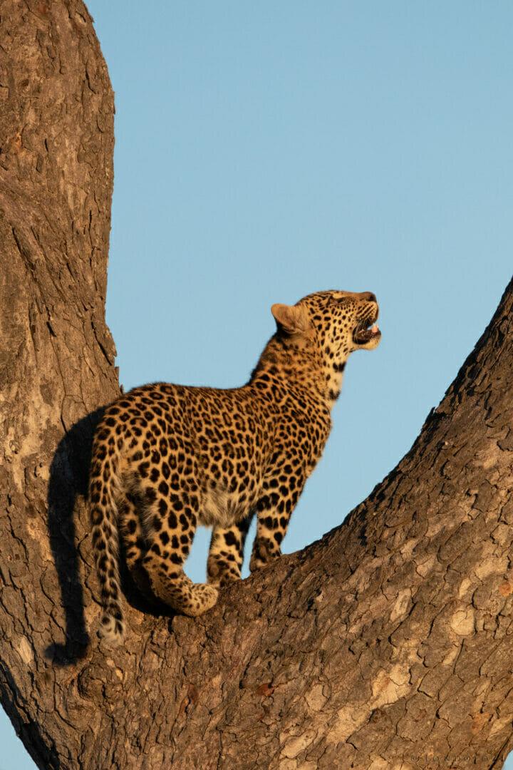 Ns Ximungwe Leopard Cub In Tree