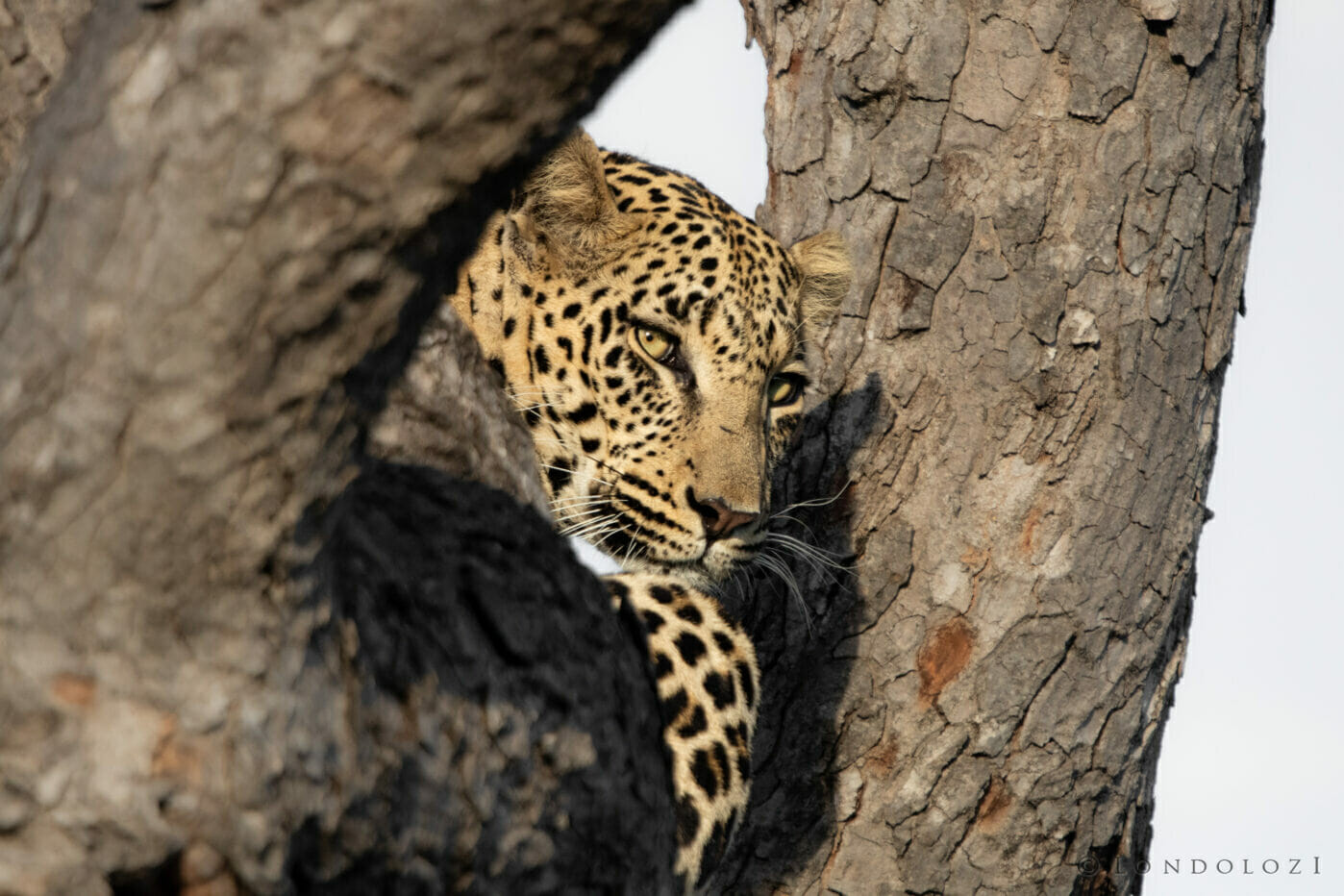 Ns Ximungwe Young Male Leopard Portrait In Tree