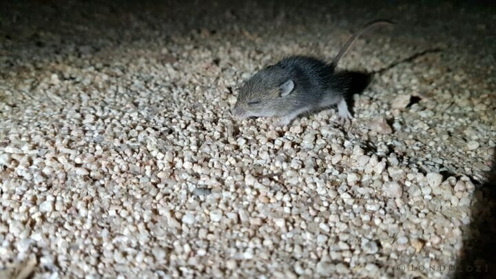 SDZ Field Mouse baby night light