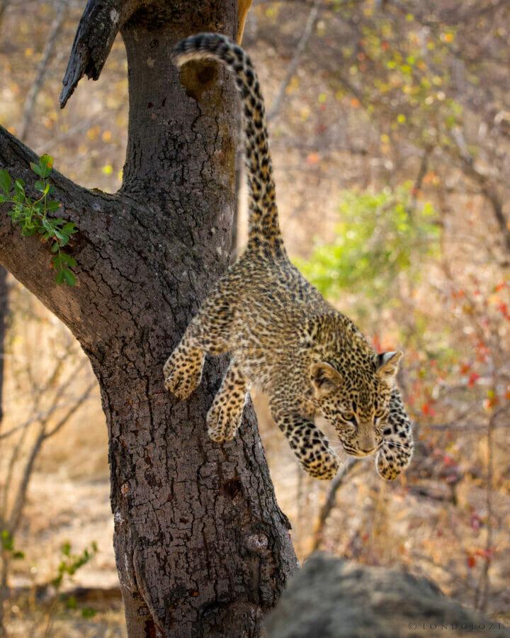 The Nkoveni Female's cub
