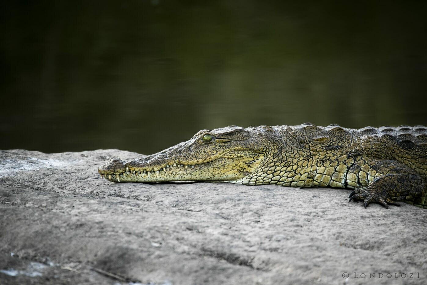 Crocodile sunbathing dark background