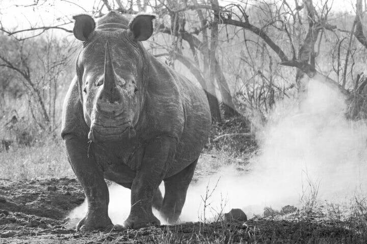 Black And White White Rhino Midden Dean De La Rey Dlr 09:21