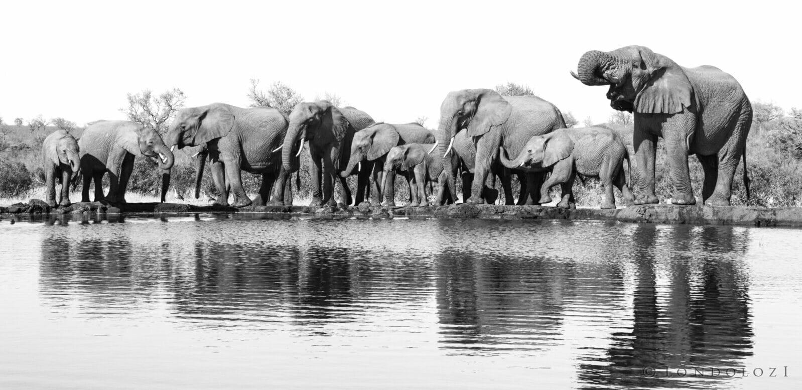 Black And White Herd Elephant Drnking High Key Dean De La Rey Dlr 09:21