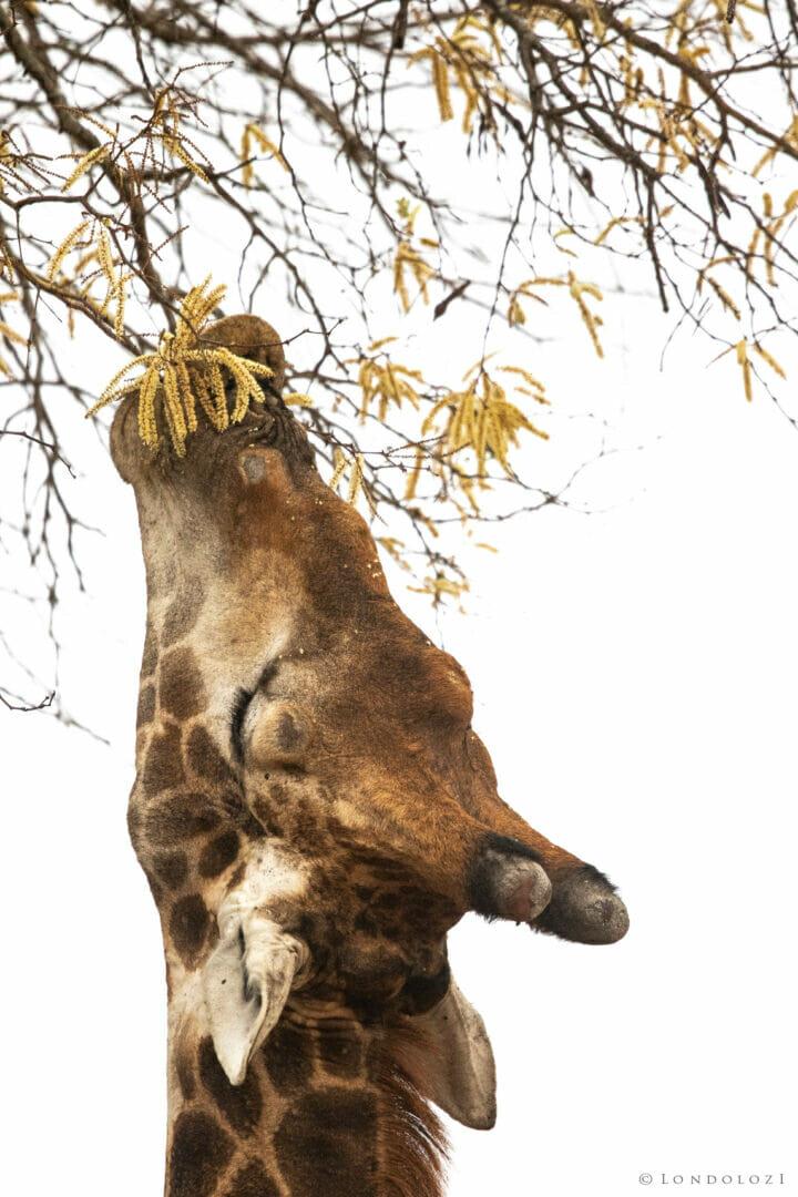 Giraffe Eating Knobthorn Highkey Dean De La Rey Dlr 09:21