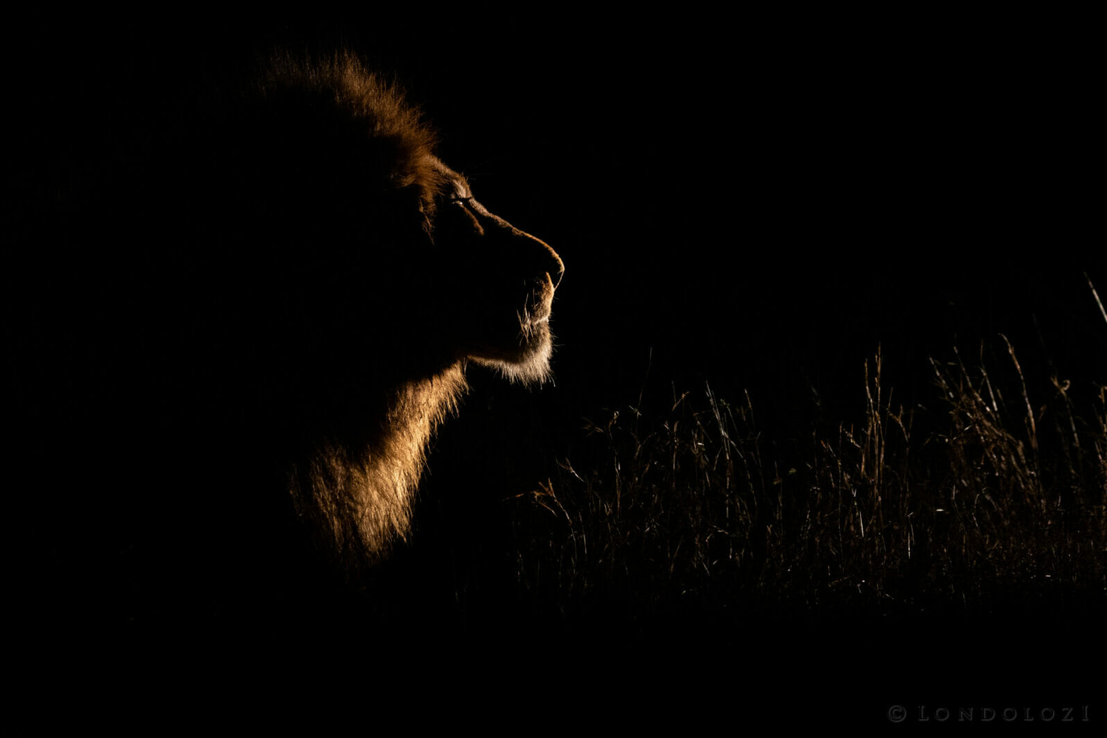 Night Birmingham Male Lion Dean De La Rey Dlr 09:21