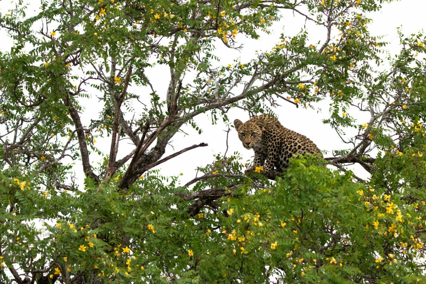 Nkoveni Leopard Cub Long Tailed Casia Dean De La Rey Dlr 09:21